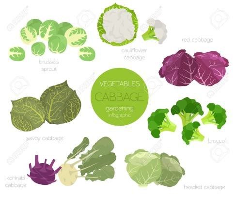 graphic of different types of cabbage